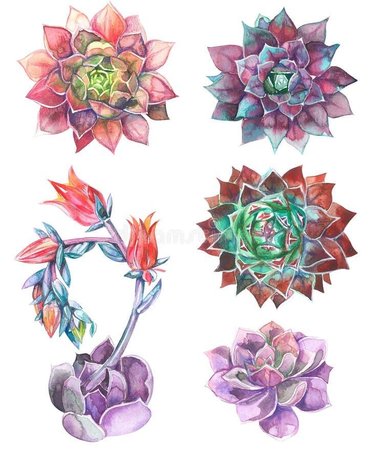 Reeks succulents, groen boeket, de illustratie van de echeveriawaterverf, het botanische schilderen royalty-vrije stock fotografie