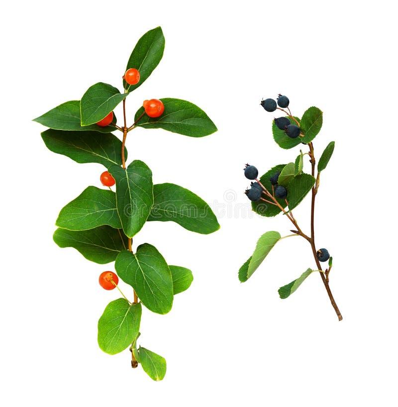 Reeks takjes met groene bladeren en rode en blauwe bessen royalty-vrije stock fotografie