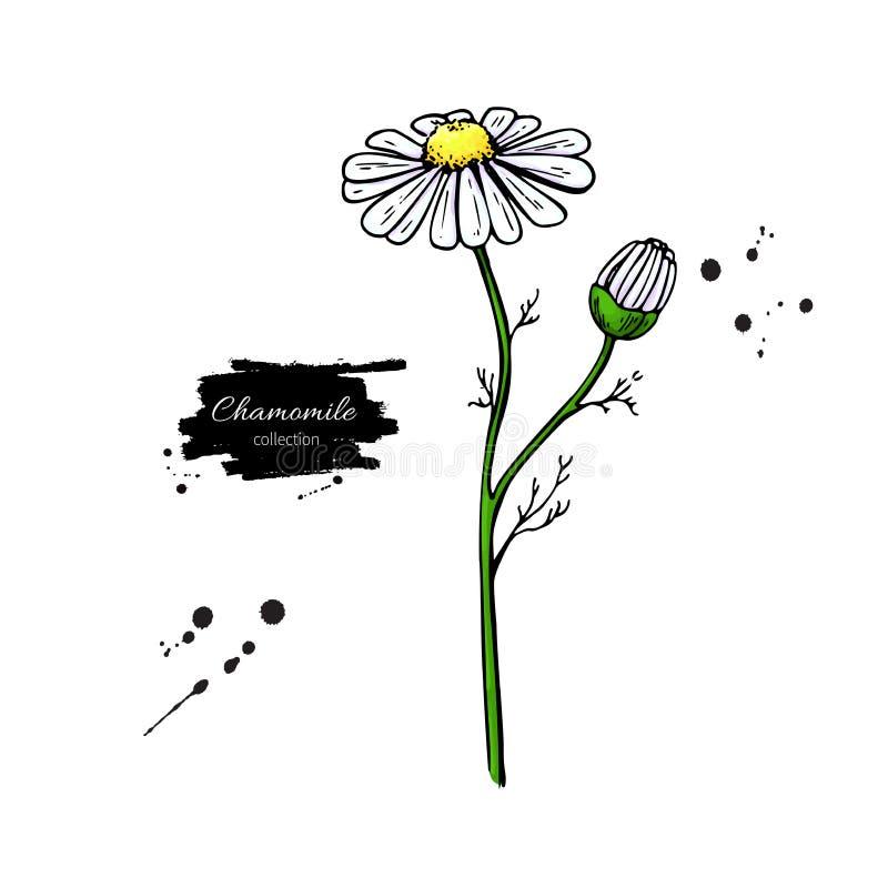 Reeks van de kamille de vectortekening Geïsoleerde madeliefje wilde bloem en bladeren Kruiden gegraveerde stijlillustratie royalty-vrije illustratie