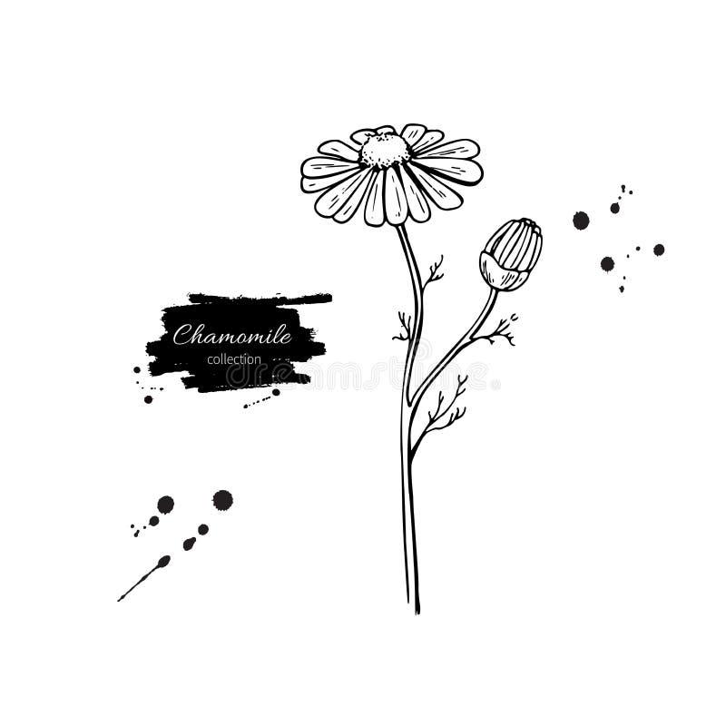 Reeks van de kamille de vectortekening madeliefje wilde bloem en bladeren Kruiden gegraveerde stijlillustratie royalty-vrije illustratie