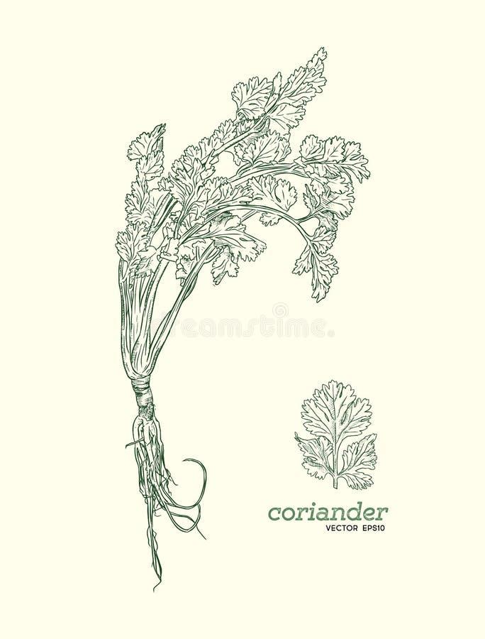 Reeks van de koriander de vectorhand getrokken illustratie royalty-vrije illustratie