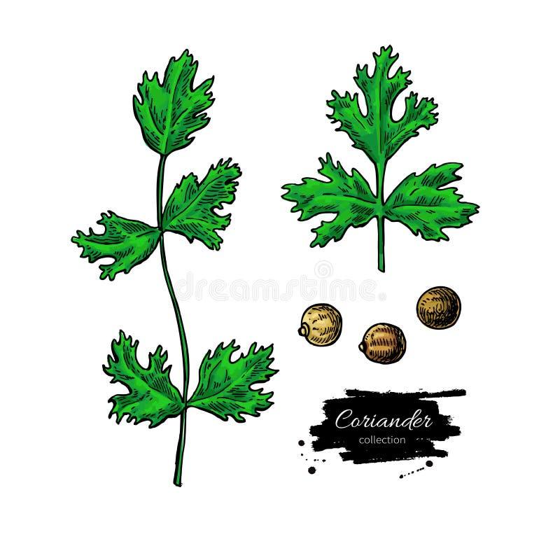 Reeks van de koriander de vectorhand getrokken illustratie Ge?soleerd kruidvoorwerp Kleurrijk kruiden stock illustratie