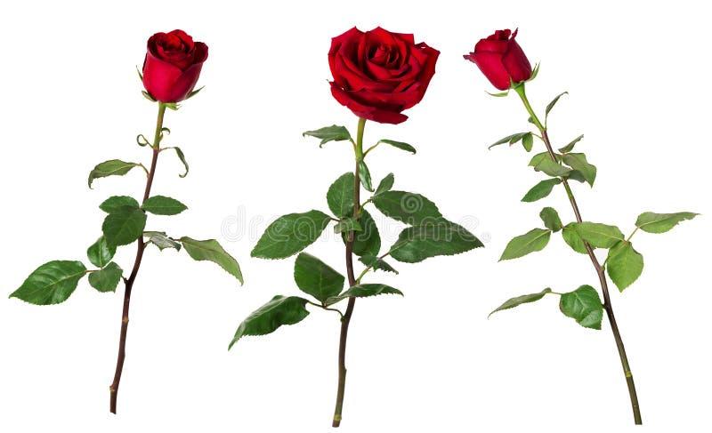 Reeks van drie mooie levendige rode rozen op lange stammen met groene die bladeren op witte achtergrond worden geïsoleerd stock afbeelding