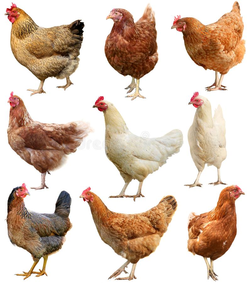 Reeks van kip op wit wordt geïsoleerd dat stock afbeelding