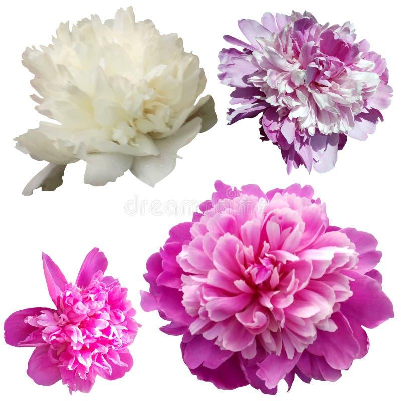 Reeks van 4 pionen van verschillende kleuren Witte, roze en lilac pioenen op een witte achtergrond royalty-vrije stock afbeeldingen