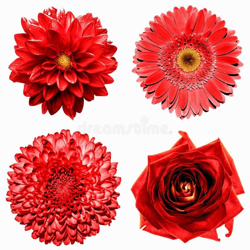 Reeks van 4 in surreal rode bloemen 1: de chrysant, gerbera, dahila en nam geïsoleerd toe stock afbeelding