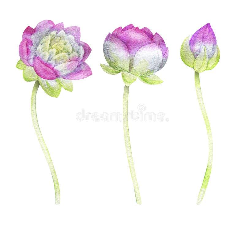Reeks van twee drie Lotus bloem Lotus stock illustratie