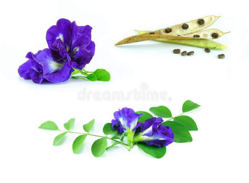 Reeks van vlindererwt met blad stock foto