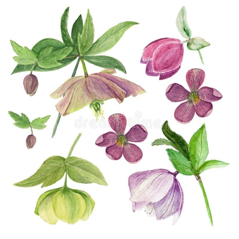 Reeks van waterverf botanische die illustratie van hellebores op witte achtergrond wordt geïsoleerd stock foto