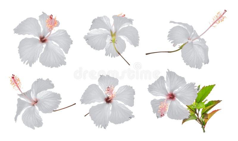 Reeks van witte die hibiscus of chababloem op wit wordt geïsoleerd stock afbeeldingen