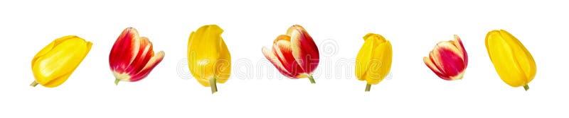Reeks van zeven mooie rode en gele die hoofden van de tulpenbloem op witte achtergrond worden geïsoleerd stock foto's