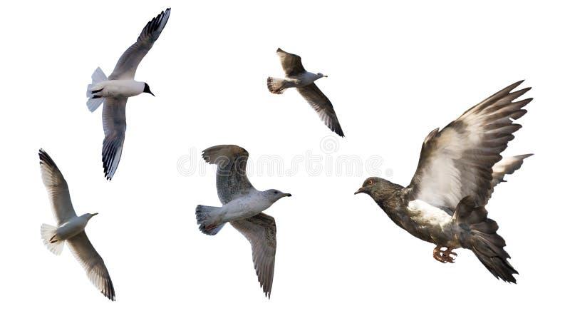 Reeks vliegende vogels die op wit wordt geïsoleerde stock afbeelding