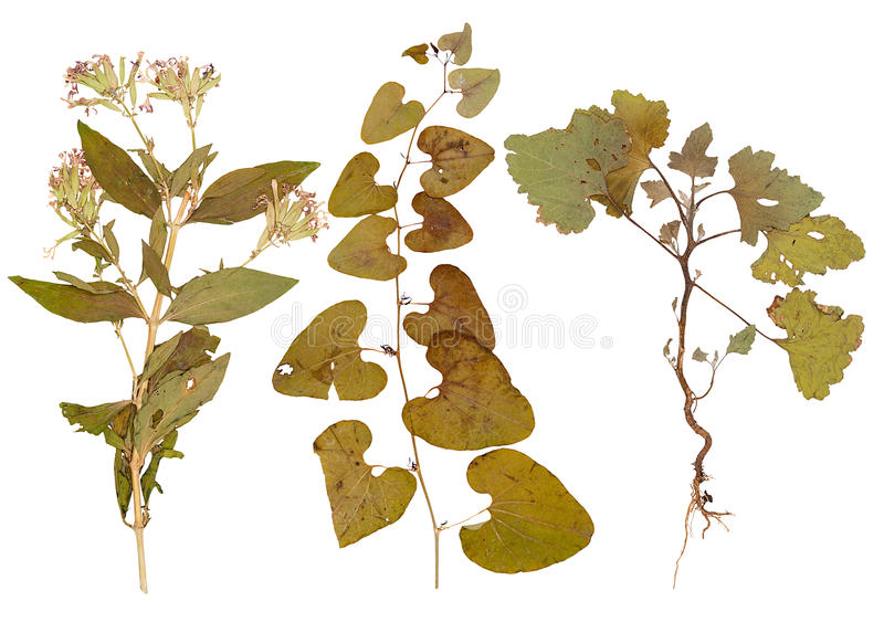 Reeks wilde droge gedrukte bloemen en bladeren stock foto