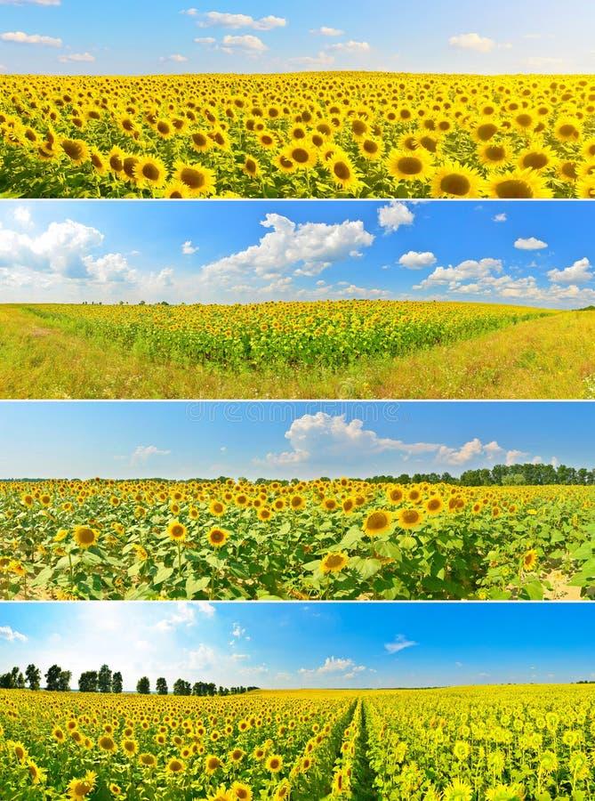 Reeks zonnebloemgebieden stock afbeelding