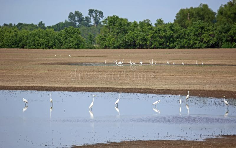 Group of snowy egret stock photos