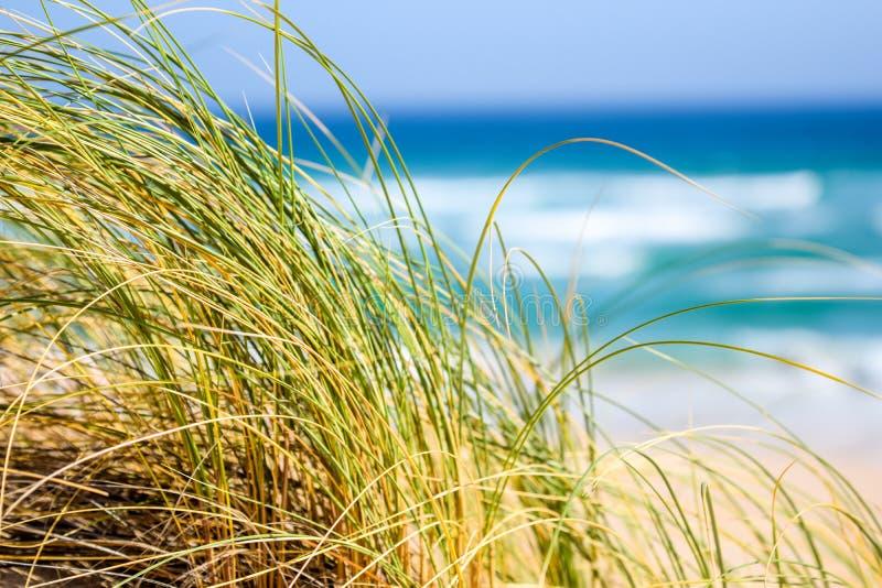 Reet草移动与海洋的风的,海滩和波浪在背景中在牡蛎咆哮,南非 图库摄影