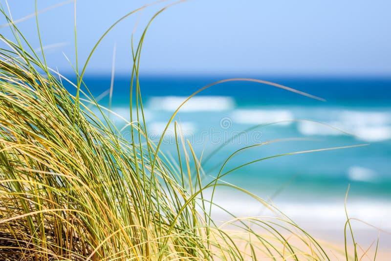 Reetgras die zich in de wind met de oceaan, het strand en de golven op de achtergrond bij Oesterbaai bewegen, Zuid-Afrika stock fotografie