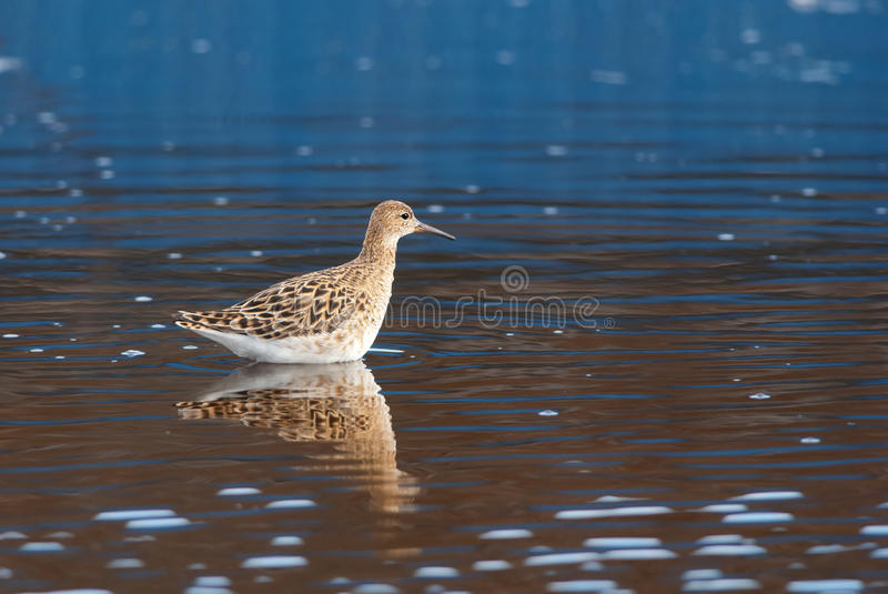 Reeve. In a lake with a colorful reflection royalty free stock images