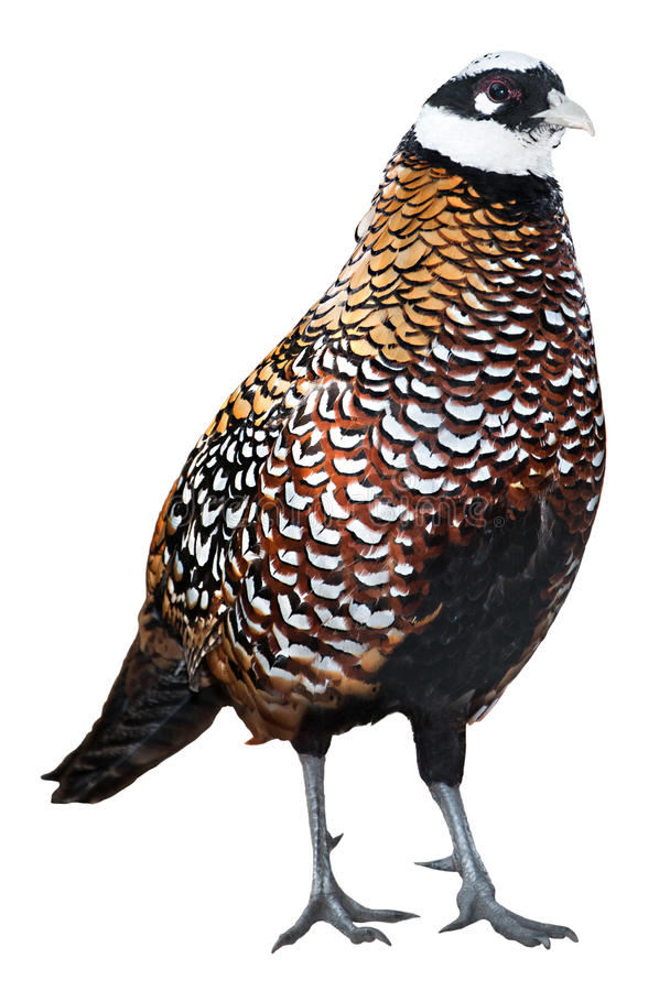 Reeves' pheasant. Beautiful reeves' pheasant isolated on white royalty free stock photo