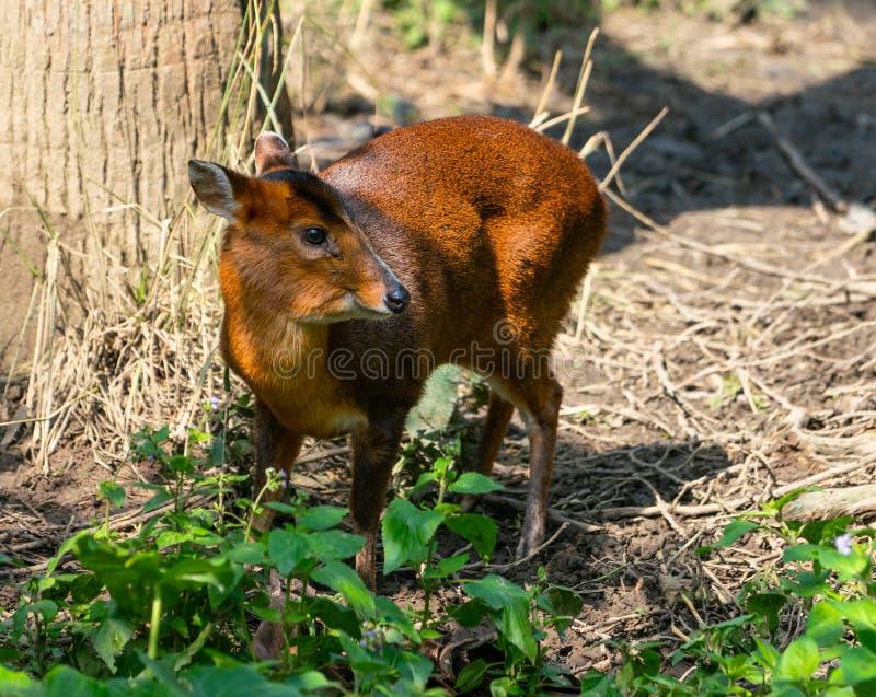 Reevess fêmeas Muntjac ou cervos de descascamento chineses fotos de stock