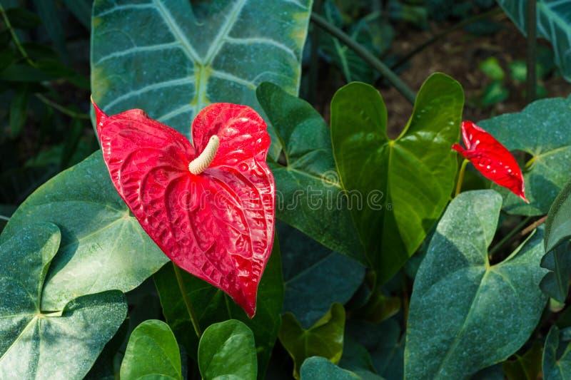 Ref Anthurium Flower. (Anthurium longistamineum stock photo