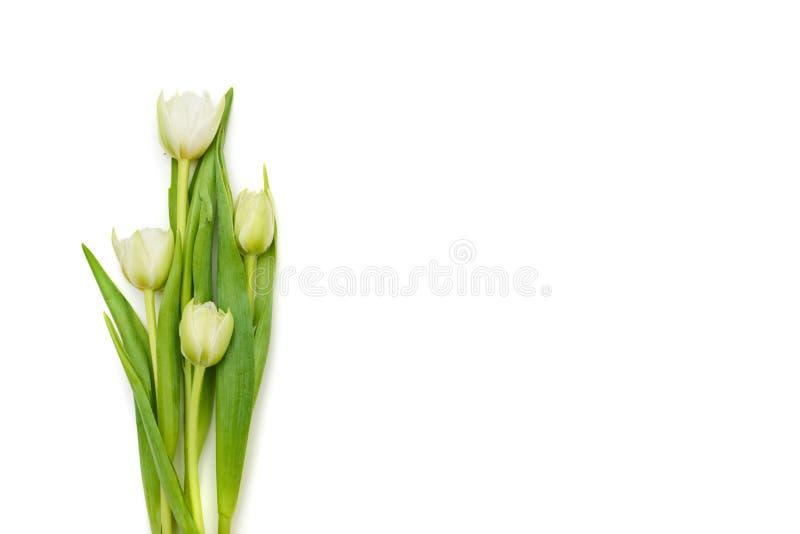 Refeição matinal agradável das tulipas brancas frescas isoladas sobre b branco fotografia de stock royalty free