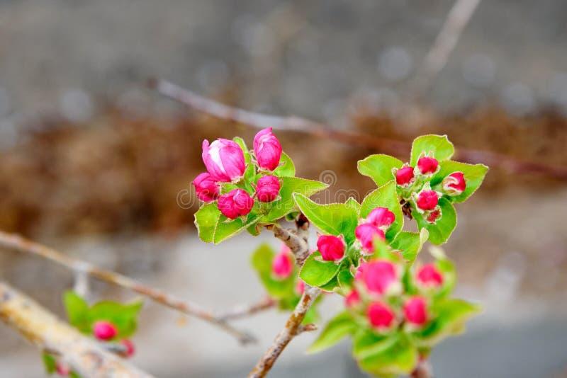 Refeição matinal da árvore de Apple com flores cor-de-rosa foto de stock royalty free