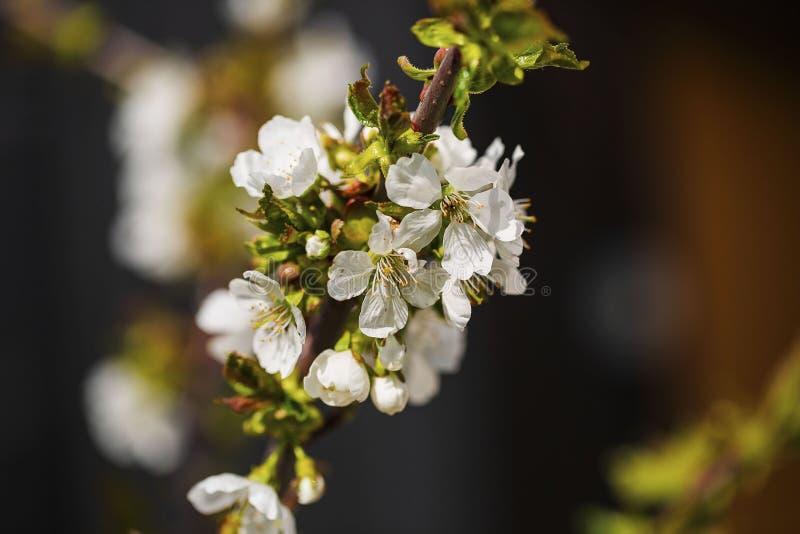 Refeição matinal de florescência bonita lindo da árvore de maçã isolada imagem de stock