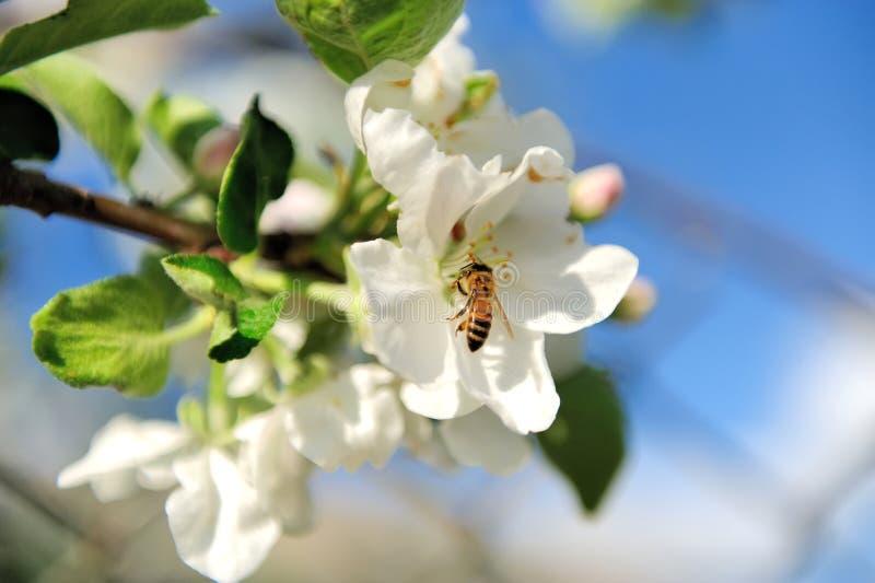 Refeição matinal de florescência da árvore com flores brancas imagens de stock