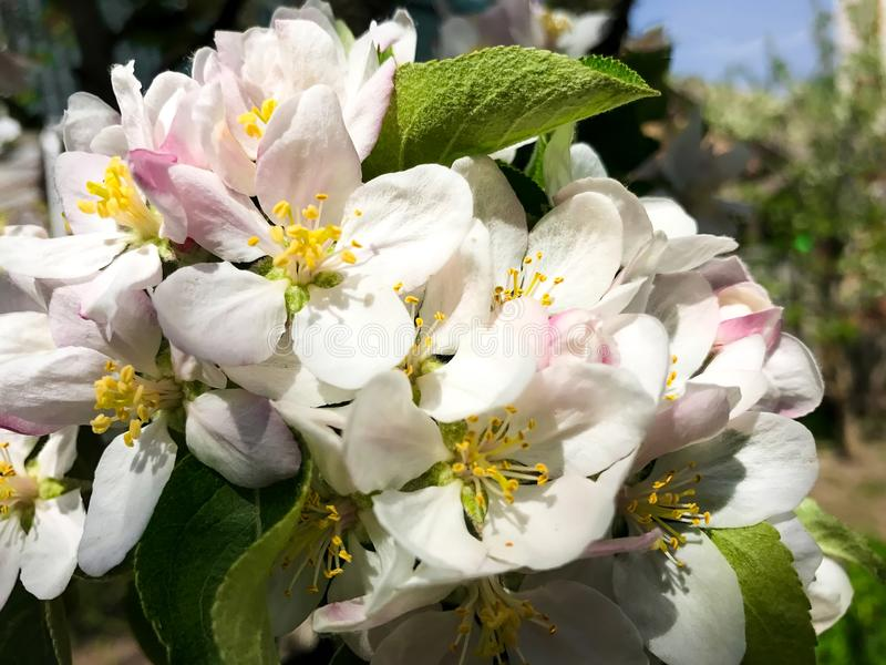 Refeição matinal de florescência da maçã sobre o fundo da natureza Flores de florescência do jardim da mola fotos de stock