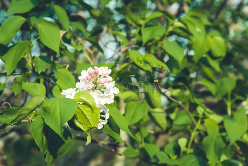 Refeições matinais lilás que florescem no parque Mola, novo começo, começo novo, conceito quieto do ar livre do tempo imagens de stock royalty free