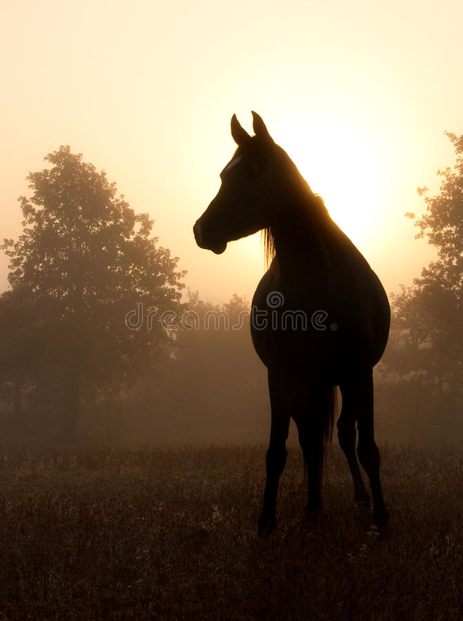Refined Arabian horse in heavy fog against rising stock images