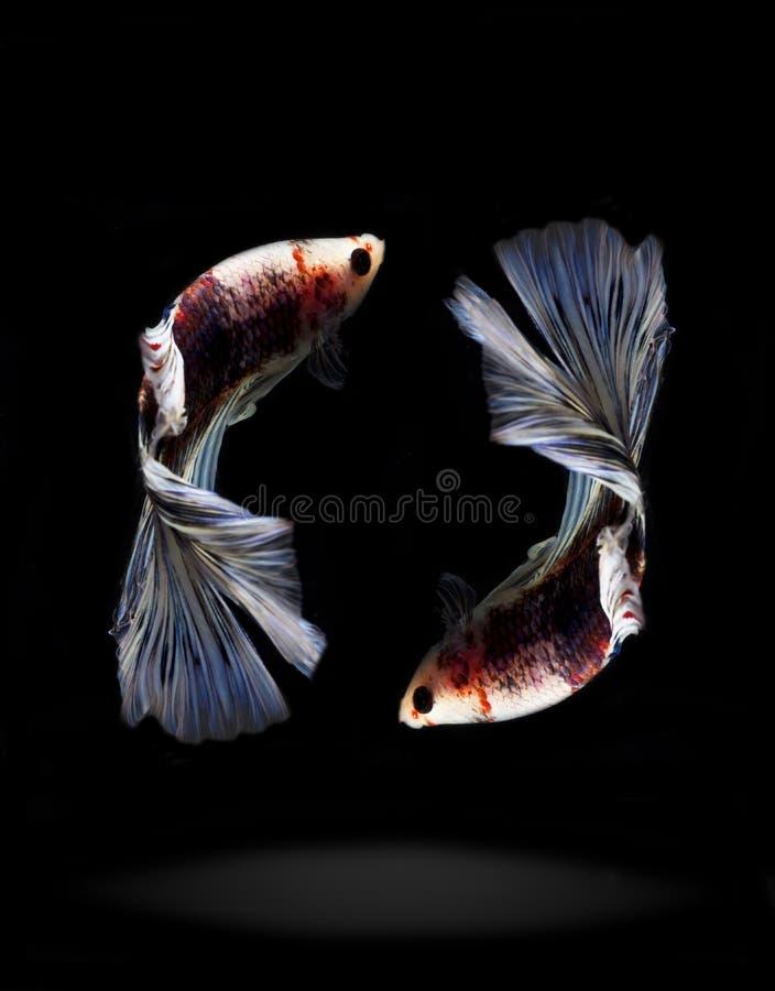 Reflétez trois poissons de combat du Siam en Thaïlande image stock