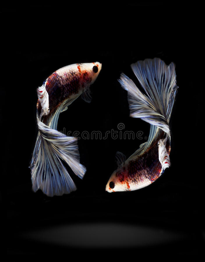 Reflect three siam fighting fish in thailand stock image