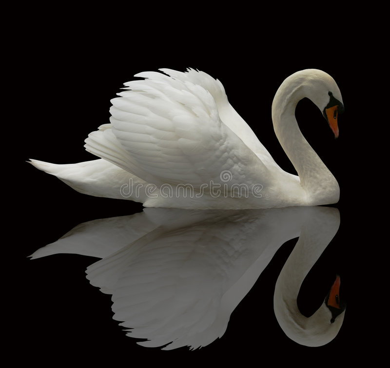 Free Reflected Swan Stock Photography - 4254722