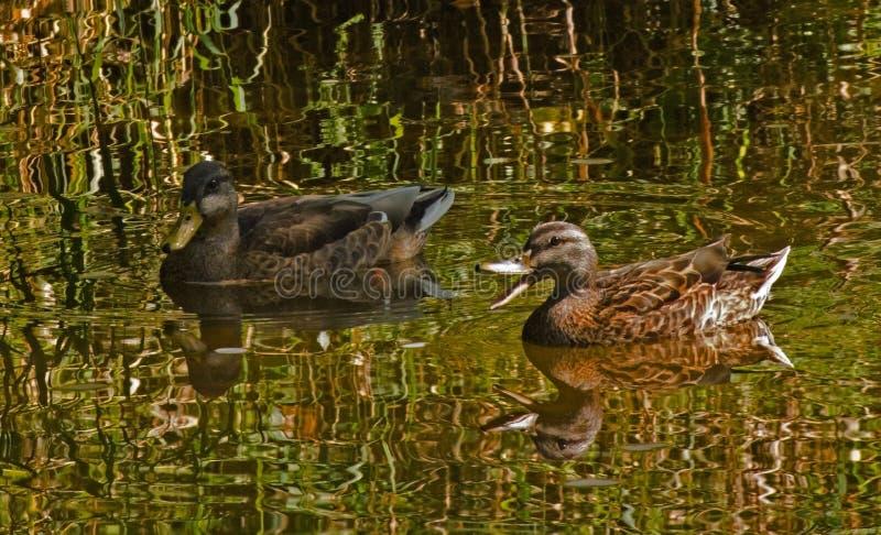 Reflecting Ducks stock photography