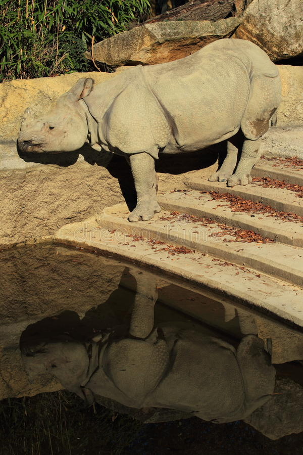Download Reflecting Indian Rhinoceros Stock Image - Image: 21681479