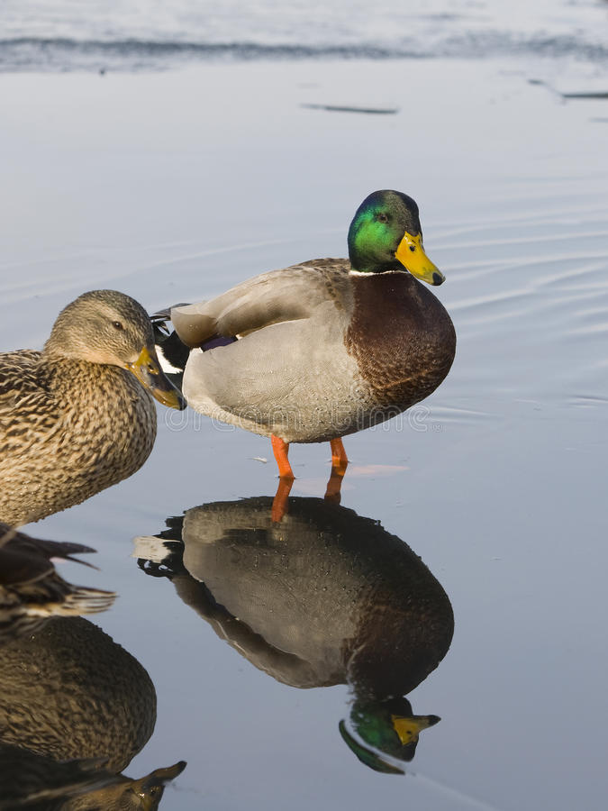 Download Reflecting Mallards stock image. Image of pond, waterfowl - 24736541
