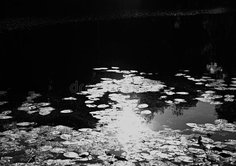 Reflecting water lilies landscape background. Horizontal orientation vivid vibrant bright black white spacedrone808 rich composition design concept element royalty free stock image