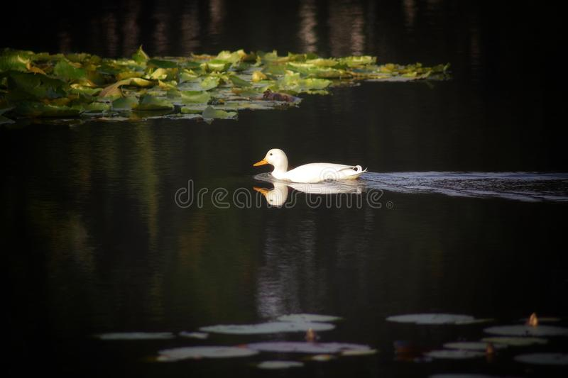 Reflection, Bird, Water Bird, Duck stock image