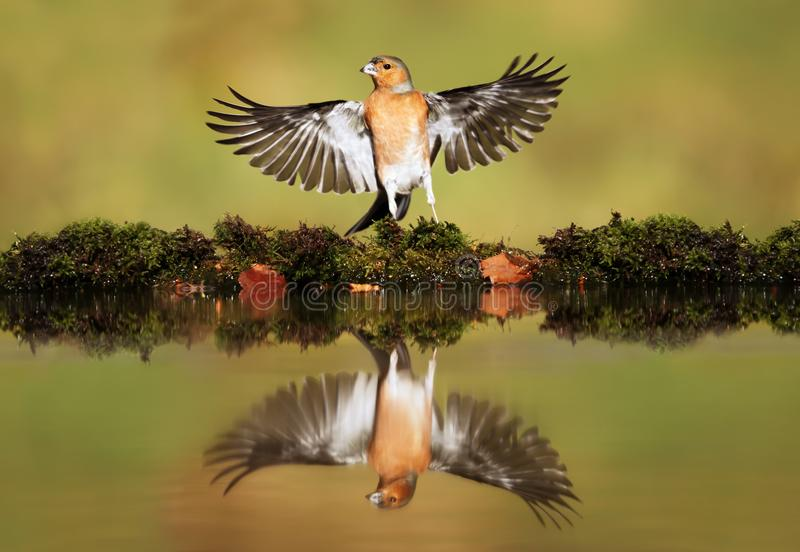 Reflection of a Common chaffinch with open wings. UK royalty free stock photos