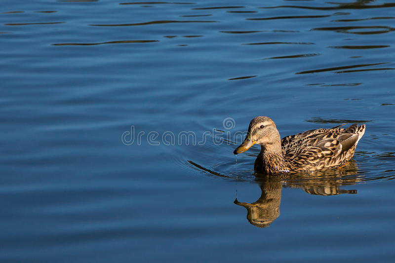 Reflection of duck on pond at Rood Bridge Park royalty free stock photos
