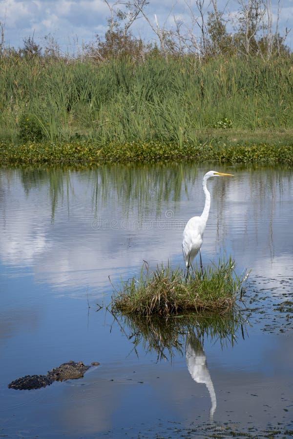 Reflection of a Great Egret w/a Florida Gator. Great Egret common large long neck gold beak Apopka Wildlife Drive Florida Nature Birds Wild hunt white small stock photos