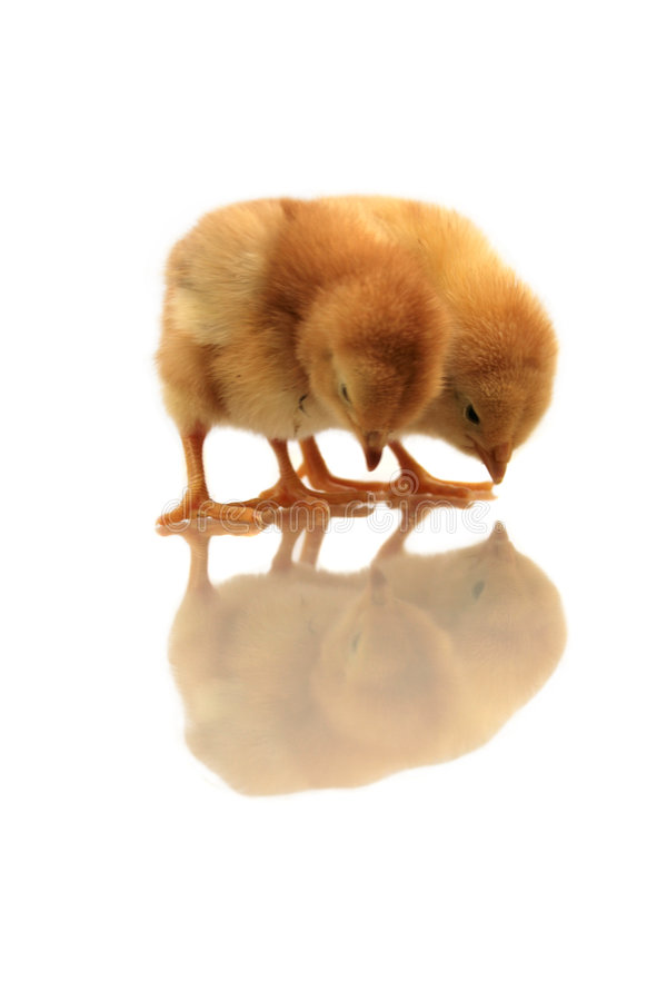 Free Reflection Of Chickens Stock Images - 4719584