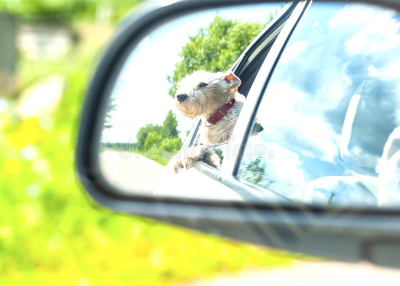 Reflection of the protruding passenger dog in the rearview mirror of a moving car.  White dog Looking Out Of Car Window royalty free stock photo