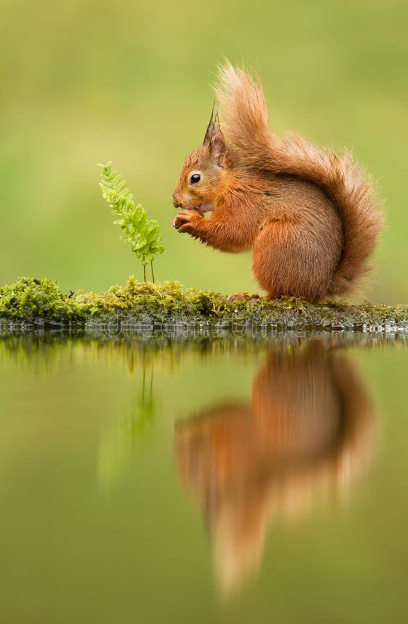 Reflection of a red squirrel. Sciurus vulgaris, UK stock photography