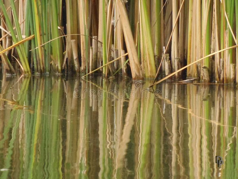 Reflection of reed in pond royalty free stock image