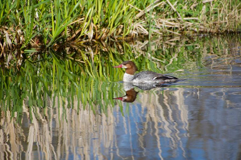Reflection of reeds in water of marsh with that of swimming common merganser female stock image