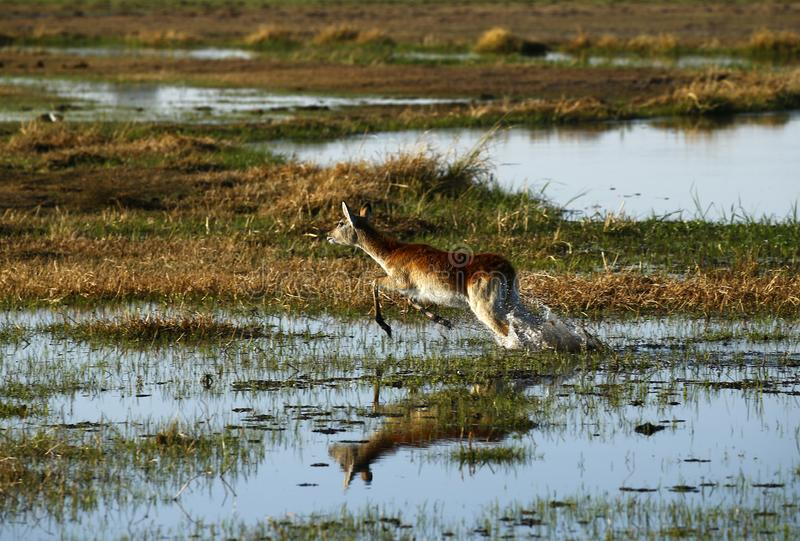 Red Lechwe bouncing through the water royalty free stock photos