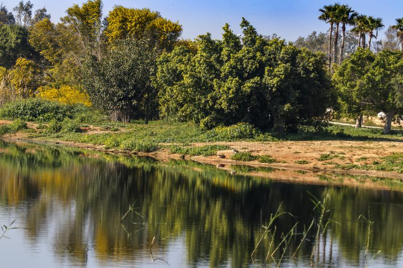 Reflection in the water of flowering mimosa trees and palms stock photography